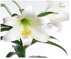 Lilium longiforum 01