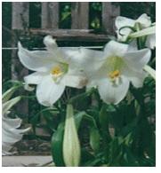 Lilium longiforum 02