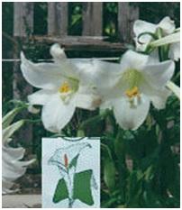 Lilium longiforum 03